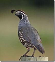 quail_1517